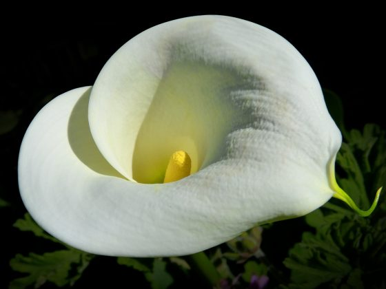 Calla Lily Seasonal Care